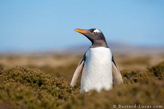 Gentoo in Diddle Dee