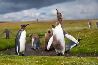Malting Penguin Chicks