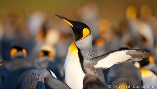King Penguin Stretching